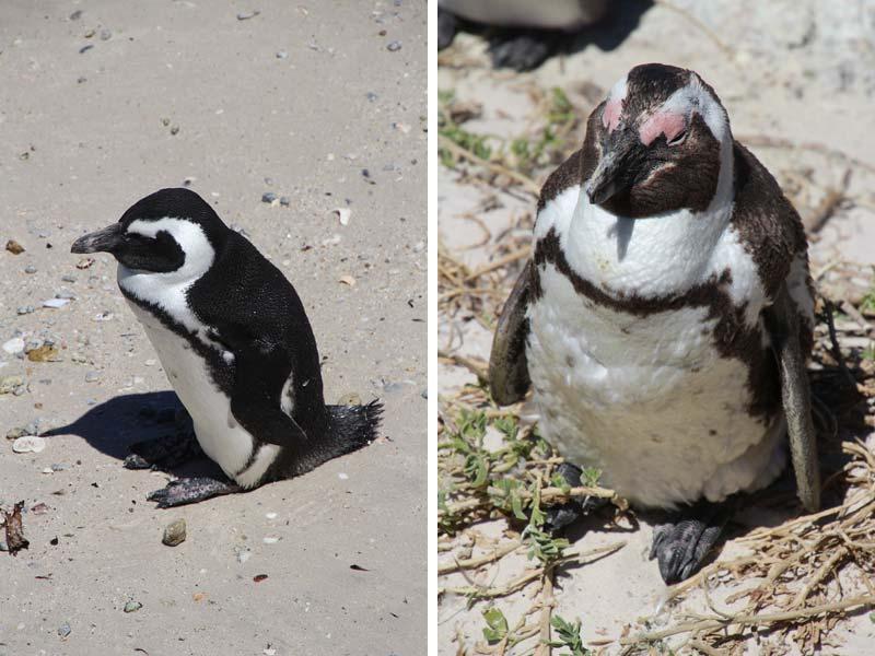 Pinguins bij Boulders Beach Kaapstad Zuid Afrika