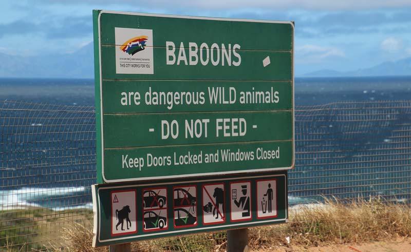 Bavianen bij Boulders Beach Kaapstad Zuid Afrika