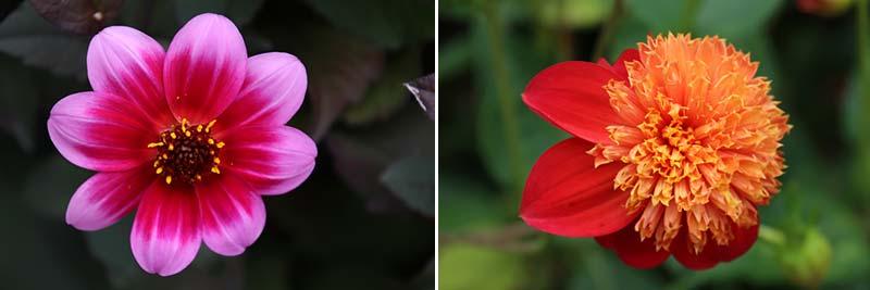 Dahlia's in de botanische tuin van in Christchurch, Nieuw-Zeeland