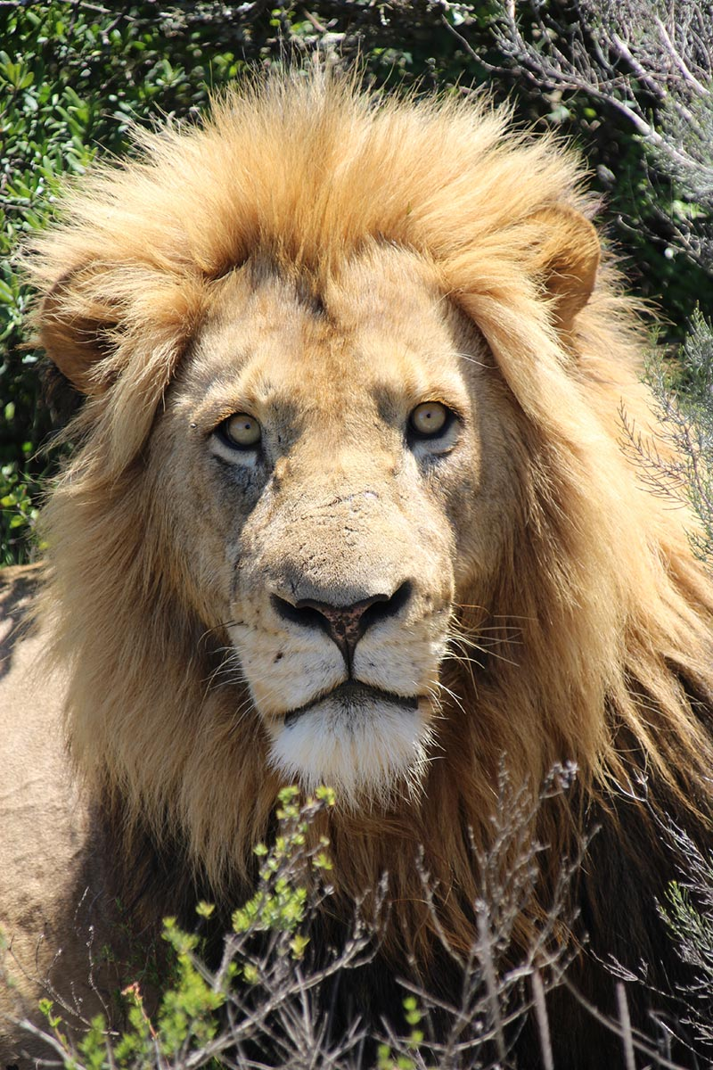 Leeuw in Pumba Private Game Reserve, Zuid--Afrika vanuit Port Elizabeth