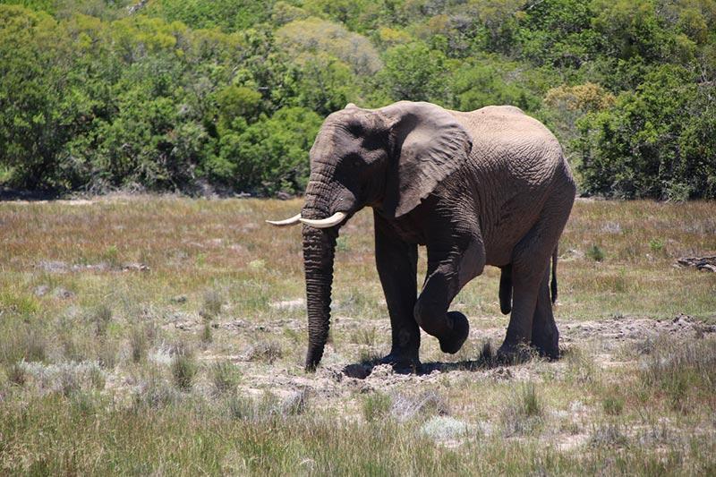 Olifant in Pumba Private Game Reserve, Zuid--Afrika vanuit Port Elizabeth