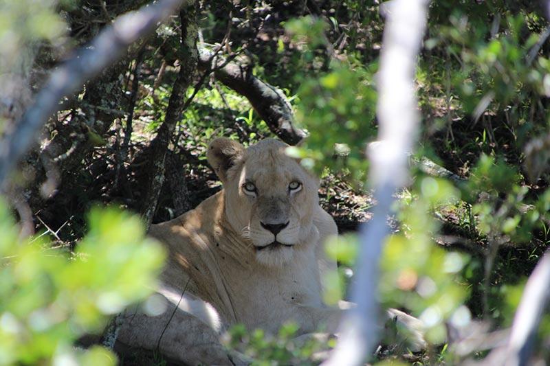 Witte leeuw in Pumba Private Game Reserve, Zuid--Afrika vanuit Port Elizabeth