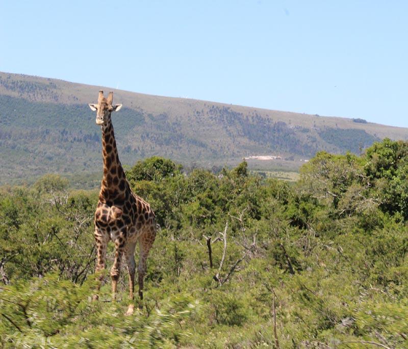 Giraffe in Pumba Private Game Reserve, Zuid-Afrika