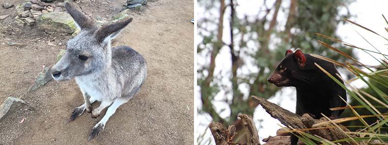 Kangoeroes en tasmaanse duivels in Hobart, Tasmanie, Australie
