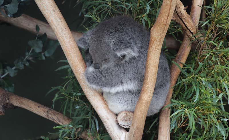 Koalas in Hobart, Tasmanie, Australie