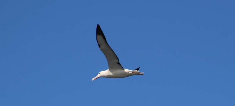 Albatros bij het Otago schiereiland in Port Chalmers, Nieuw-Zeeland